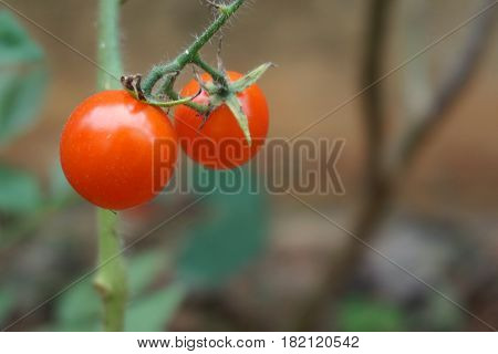 close up red cherry tomato in vegetable plantation