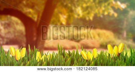 Yellow tulips against trees and meadow in the park