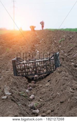 potato ridges in just before harvesting. A close up