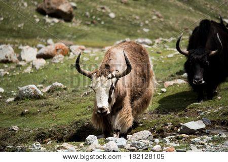 Kailash Yatra TIBET Yak Himalayas mountain pass