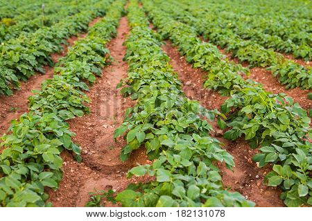 Cultivated field: fresh green plant bed rows