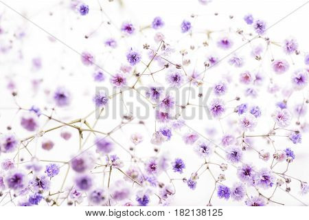 Full blooming purple coloring soaproot flowers in front of white background