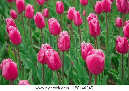Beautiful tulip field, red tulip flower garden