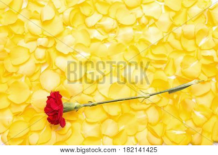 Red carnation flower on pile of yellow rose petals