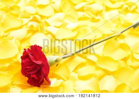 Close up red carnation flower on pile of yellow rose petals