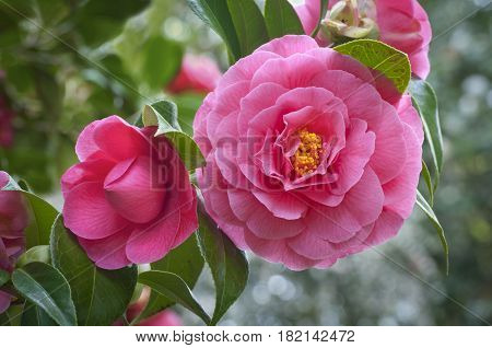 Closeup of vivid pink camellia flowers and bud on tree, species disambiguation