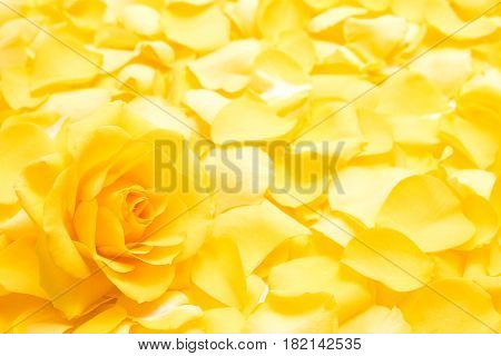 Close up yellow rose flower in lower left on yellow rose petals