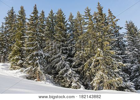 Panoramic View Of Alpine Mountain Coniferous Trees