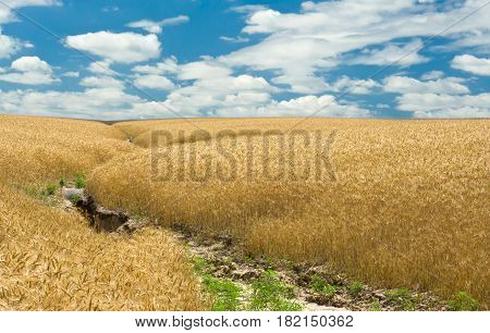 Summer wheat field and soil erosion .
