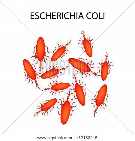 Escherichia coli. Infographics. Vector illustration on isolated background