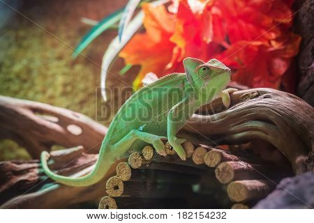 green chameleon - Chamaeleo calyptratus on the branch with leaves