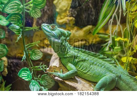 Beautiful close up photo of green lizard Plumed basilisk