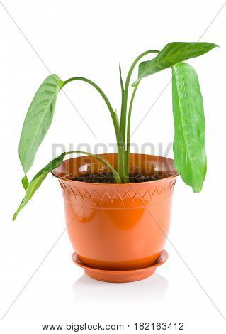 Potted plant dieffenbachia, isolated on white background