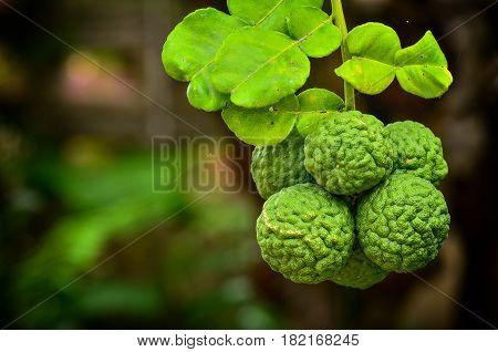 Close Up Group Bergamot On Tree In Garden