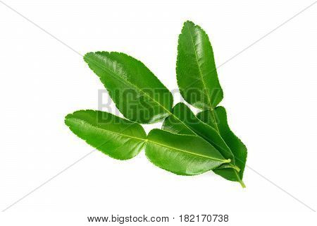 kaffir lime leaves isolated on a white background
