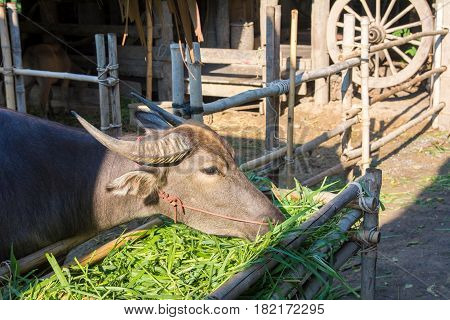 thai Buffalo eating grass in the stable