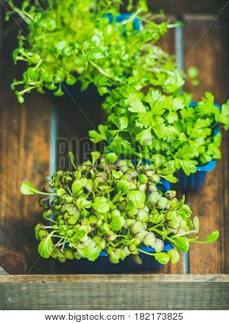 Radish kress, water kress and coriander sprouts in blue plastic pots on wooden tray background, top view, selective focus