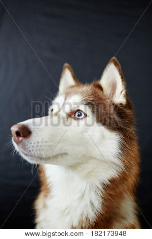 Furry husky doggy in isolation
