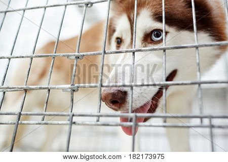 Siberian husky dog behind bars