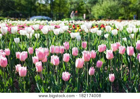 A flower bed with pink tulips on a sunny May day.