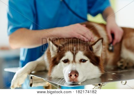 Medical treatment of sick husky dog in vet clinic