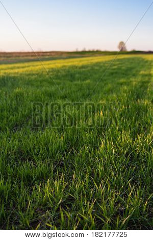 Green grass in spring field with clear blue sky background