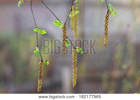 Birch catkins on a branch closeup spring. Birch bud (Alnus Alder Betulaceae) on a nature spring background.