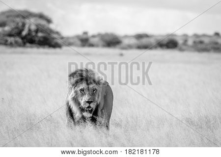 Male Lion In The High Grass In Black And White.