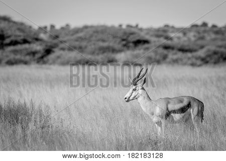 Side Profile Of A Springbok In Long Grass.