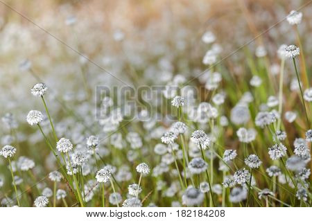 Plains Beautiful Blackfoot Flower field for background