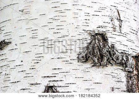 black stripes, pattern of birch bark, birch bark texture natural background paper close-up, birch tree wood texture, natural birch bark background