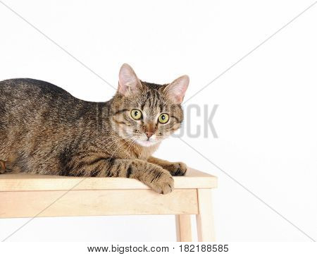 Striped Cat Lying On A Chair And Looks At Camera