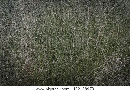Dead nature and depression. Thick tree or bush branches bare leafless on autumn day outdoors on grey background.