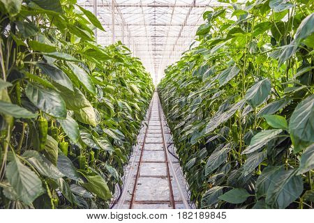 Overview of peppers growing up alomg wires in long rows in a specialized Dutch greenhouse. The pepper plants are grown hydroponically without soil but in rock-wool.
