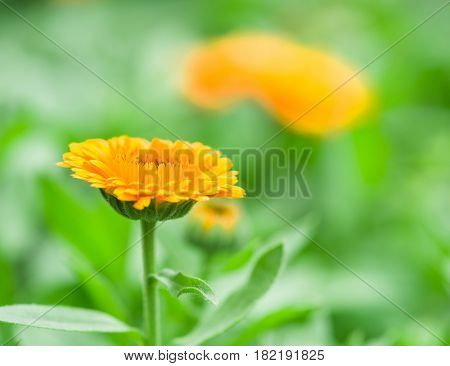 Calendula or marigold flower. Blurred green flowerbed on the background.