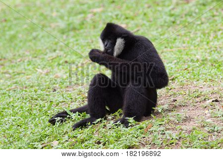 The black gibbon take a rest on the grass