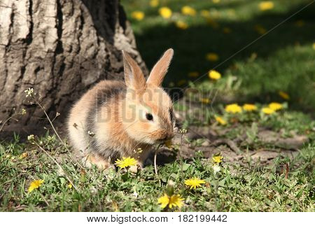 Cute little rabbit bunny is eating  dandelion flower