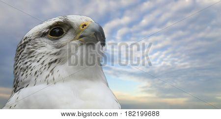 Gyrfalcon portrait (Falco rusticolus)