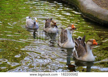 ducks floating on the lake