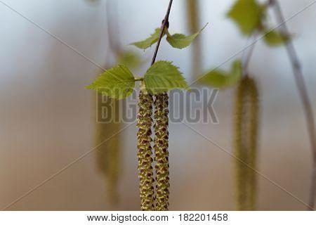 Flower of a silver birch tree (Betula pendula)