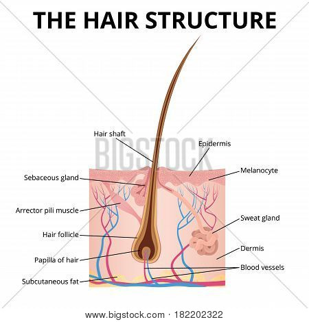 an illustration of the structure of the hair and hair follicle, sweat and sebaceous gland