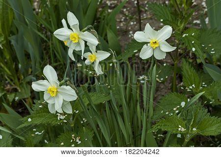 Bright white daffodils or narcissus in bloom,  Sofia, Bulgaria