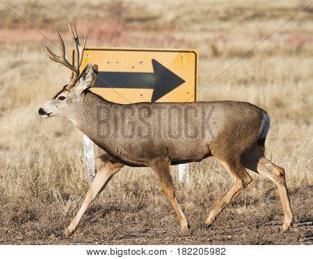 Mule deer in the rugged Colorado back country.