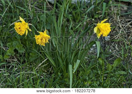 Bright yellow daffodils or narcissus in bloom at meadow, Sofia, Bulgaria