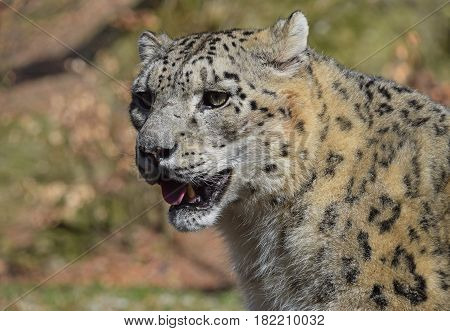 Close Up Portrait Of Snow Leopard