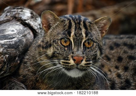 Close Up Portrait Of Fishing Cat