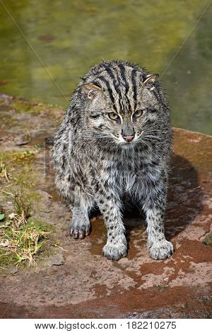 Portrait Of Wet Fishing Cat Looking At Camera