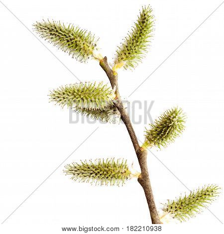 Willow branch with blossoming buds isolated on white background.