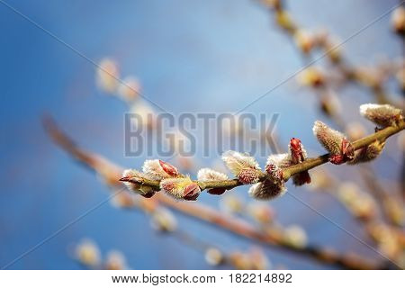 Flowering willow branches against the blue sky.