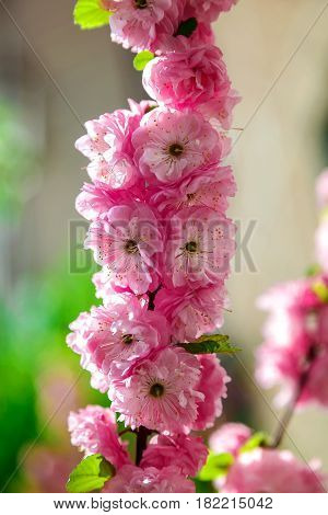 Branch with pink flowers with green leaves.